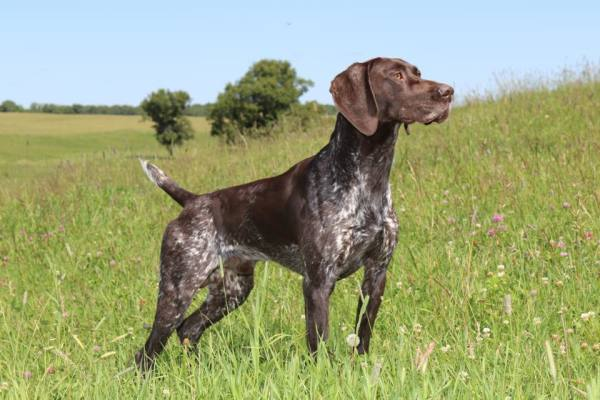 Dog Boarding Training Versatile German Shorthaired Pointers